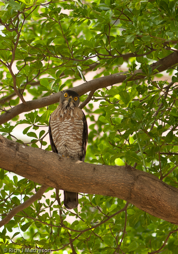 Hawk in tree