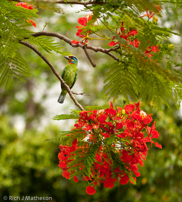 A colorful bird, Muller's Barbet (Megalaima Oorti), rests on a Flame Tree (Delonix Regia) branch in Tainan City, Taiwan