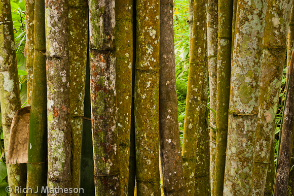 Bamboo trunks