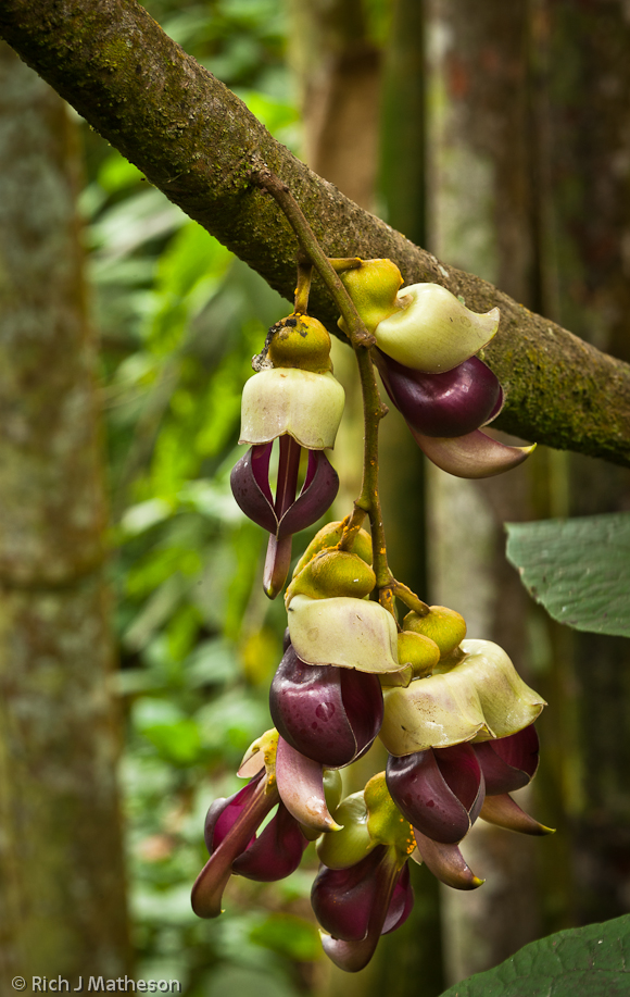 Large-fruit Mucuna Flower, Mucuna macrocarpa Wall.,