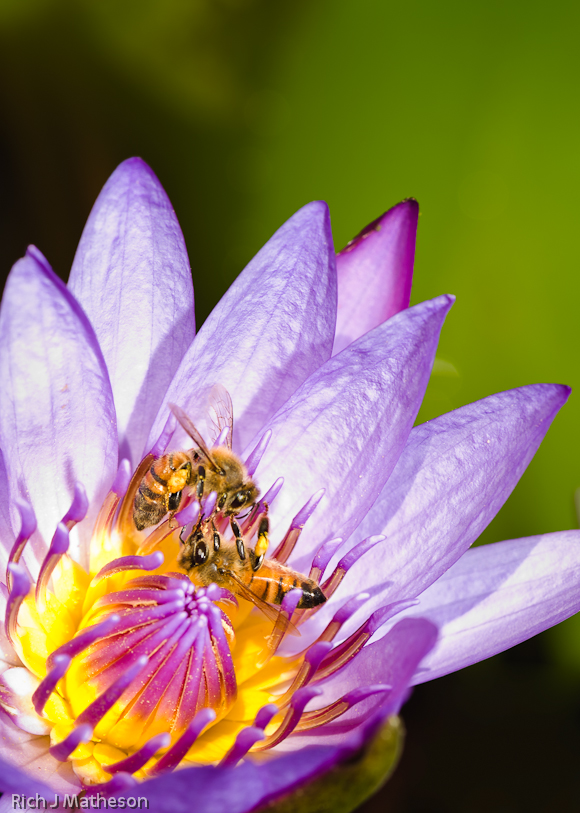 Bees collect pollen from a water lily