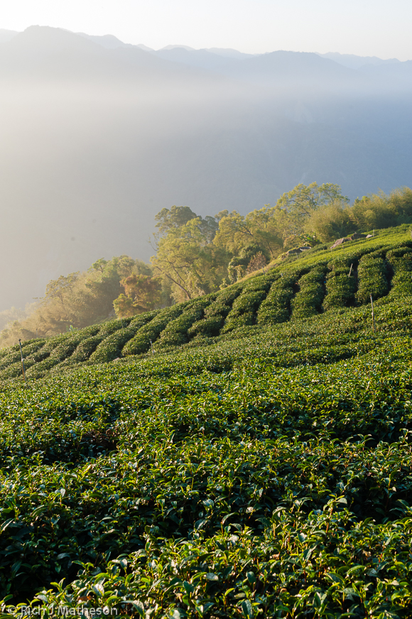The sunrises over an Alishan tea field.