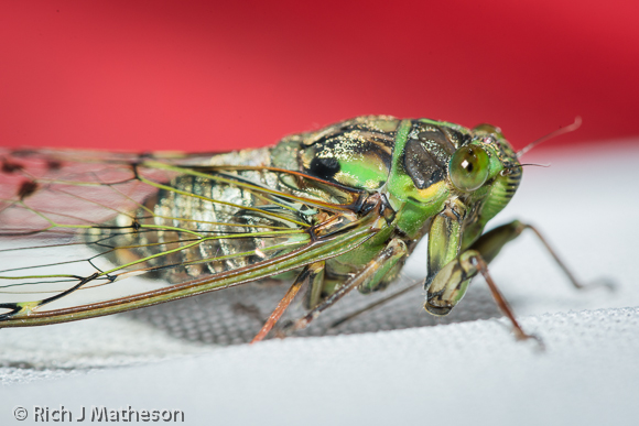 Cicada, Namasia District, Kaohsiung City, Taiwan