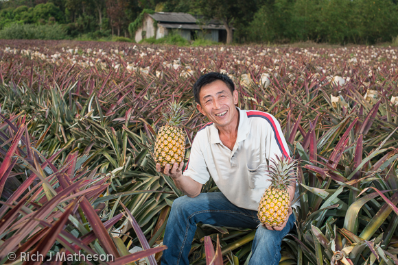 pineapple farming 01 Pineapple Farming in Taiwan