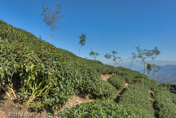 Lugu Tea Fields, Nantou, Taiwan
